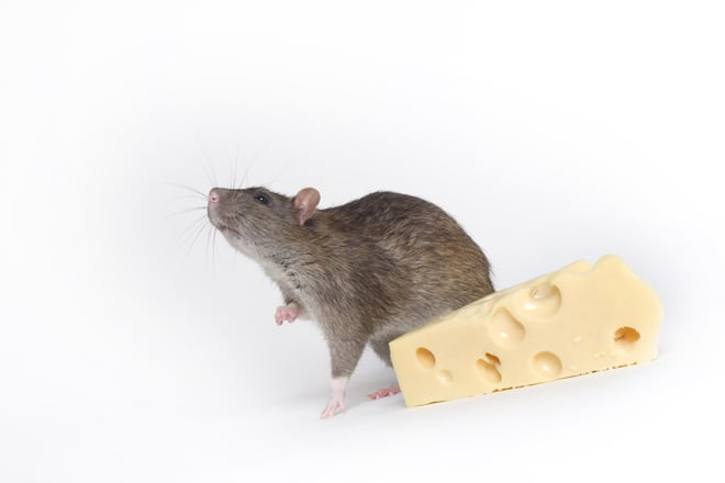 grey-rat-with-cheese